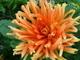 Jiřina oranžová