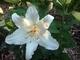 První  rozkvetlý  květ  bílé  lilie  - 23.8.2009.