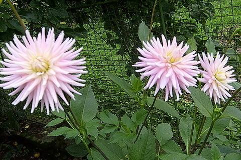 FOTKA - Keřík růžových jiřin