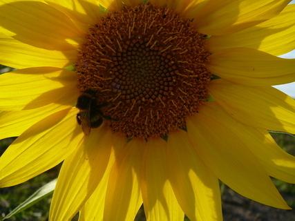 FOTKA - slunečnice a čmeláček