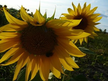 FOTKA - slunečnice.