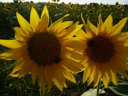 FOTKA - slunečnice...