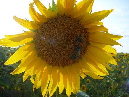 FOTKA - slunečnice a 3  čmeláci