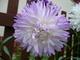 Květy aster,