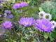 Květy aster,.