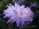 Květy aster,.,