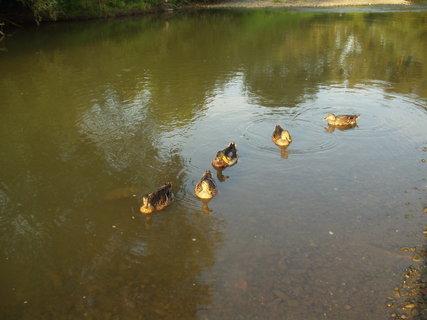 FOTKA - Kachny v řece Odře