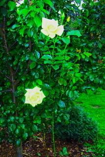 FOTKA - Žluté růže