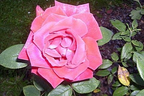 FOTKA - Jedna z posledních růží