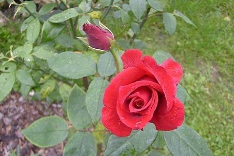 FOTKA - růžové poupě
