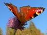 Motýlí detail