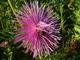 kytí fialové