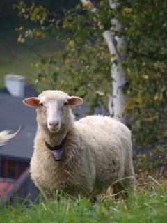 FOTKA - Ovca