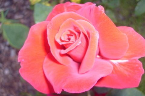 FOTKA - Růže stále kvetoucí