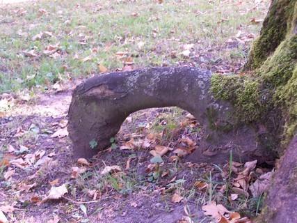 FOTKA - Kořen stromu