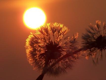 FOTKA - Pampelišky po ránu-