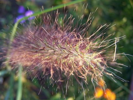 FOTKA - Kvetoucí travina