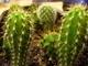 Už mi kaktusky z kelímku od zmrzliny vyrostly