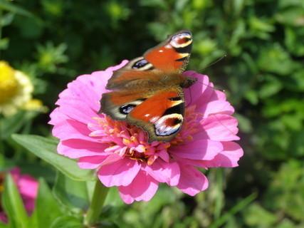 FOTKA - Motýl na květině