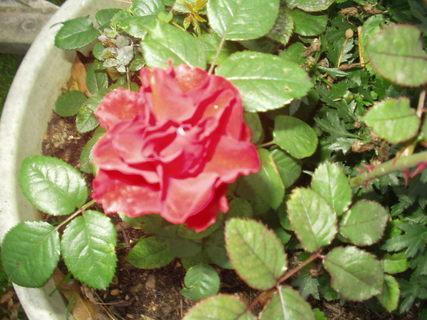 FOTKA - Růžička v květináči
