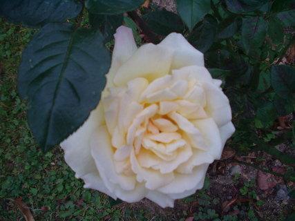 FOTKA - Žlutá růže