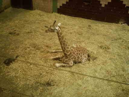 FOTKA - žirafí mládě