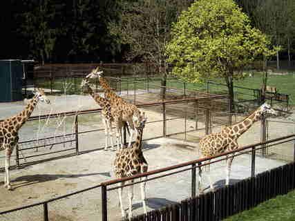 FOTKA - Žirafy 1