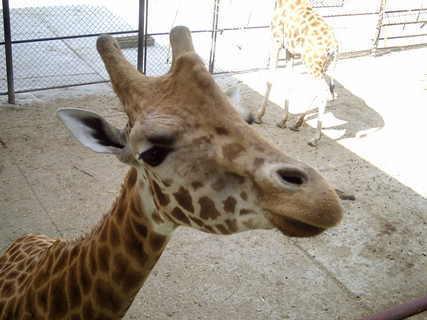 FOTKA - Žirafy