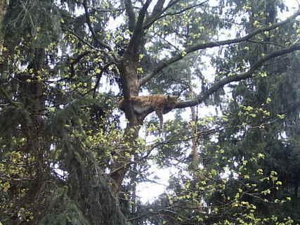 FOTKA - rys v korunách stromů