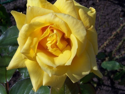 FOTKA - Jedna  z posledních růžiček