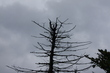 Umírající strom