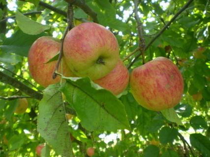 FOTKA - Jablka III