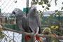 Papoušek 71