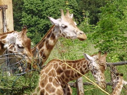 FOTKA - žirafy.