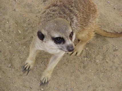 FOTKA - surikata.