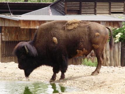 FOTKA - bizon