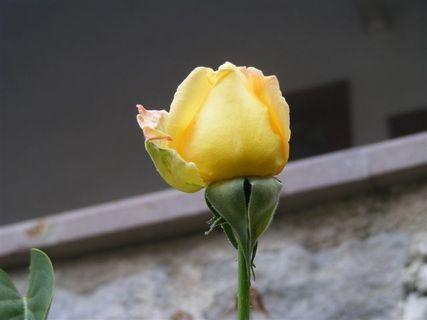 FOTKA - Žlutá růže,ale ne z Texasu