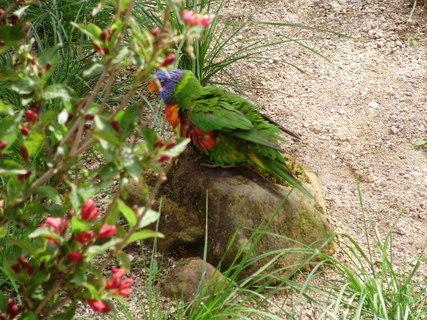 FOTKA - papušek lori