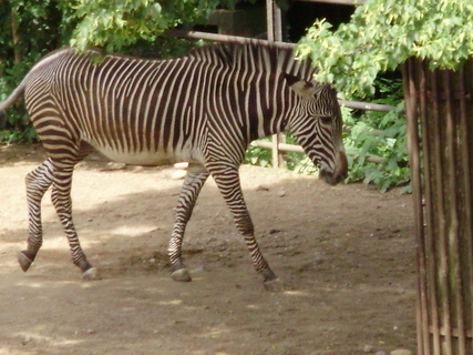 FOTKA - zebra.....
