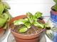 mini mäsožravá rastlinka
