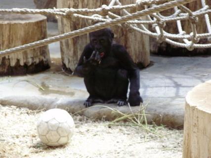 FOTKA - gorila.