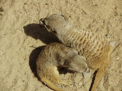 FOTKA - . . surikaty . .
