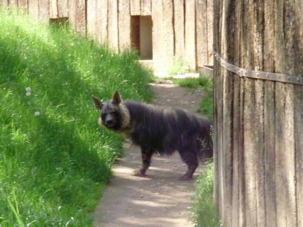 FOTKA - . . hyena . .