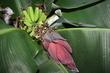 Banány domácí úroda