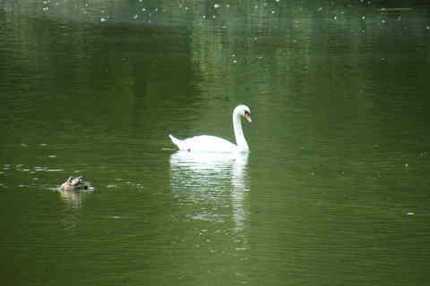 FOTKA - Labuť a kačka