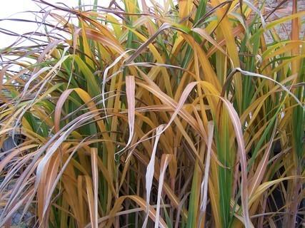 FOTKA - Barevný rákos na zahradě