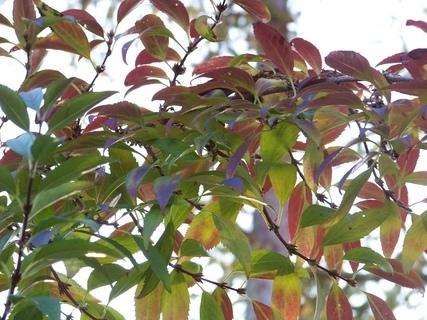 FOTKA - slunce v listech zlatého deště
