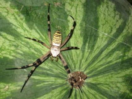 FOTKA - pavouček co přiletěl s melounama