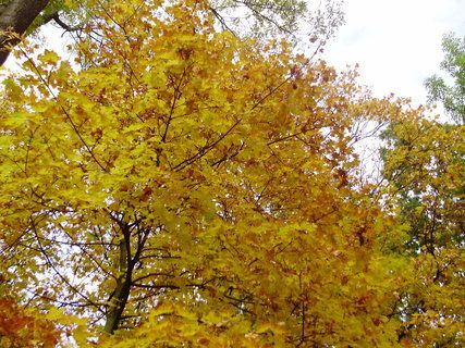 FOTKA - Žluté listy javoru