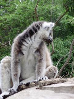 FOTKA - .,lemur.,